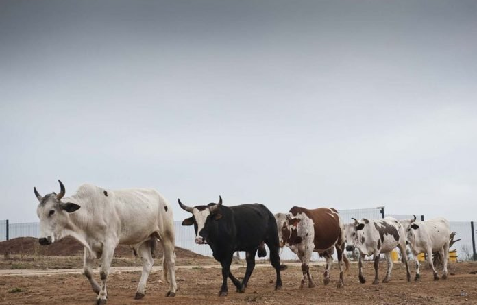 Some of President Jacob Zuma's herd of cattle cross the road at his homestead