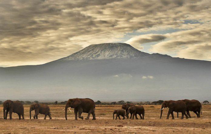 A herd of elephants walk in front of Mount Kilimanjaro in Amboseli National Park