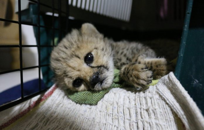 Cheetah cubs rescued in Somaliland