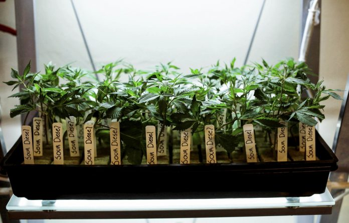 Verve Dynamics is the first African company to be given the go-ahead to grow cannabis and process it into medicinal products in markets such as Europe and parts of North America – but not yet South Africa.