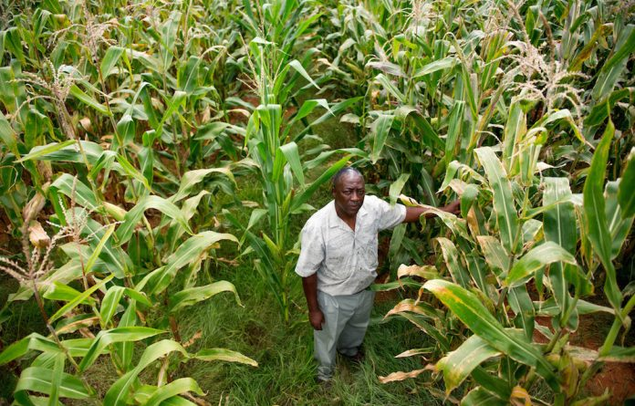 Cash crop: Lawrence Mtsweni says the predicted price of maize won't cover his input costs.