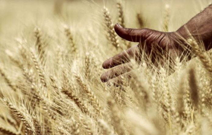 Wheat and other food staples such as rice and maize are under threat from climate change.