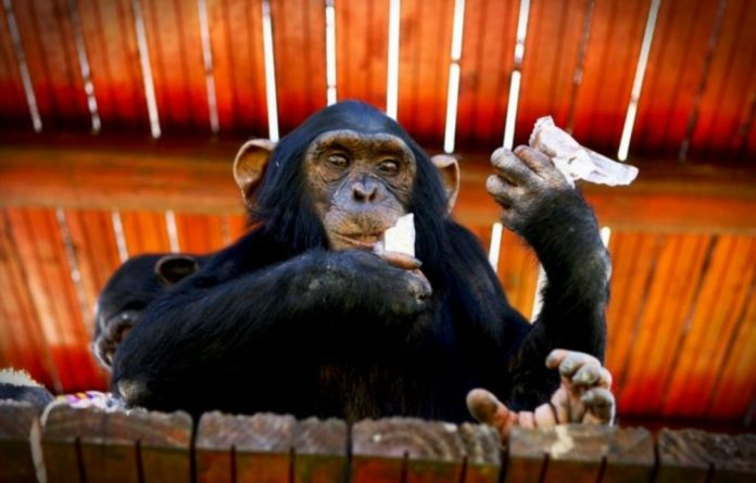 More than 22 000 great apes are estimated to have been lost to the illicit trade between 2005 and 2011