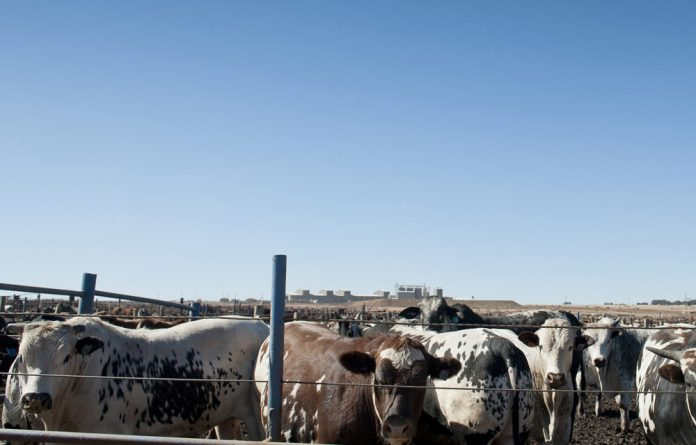 Cattle farming.