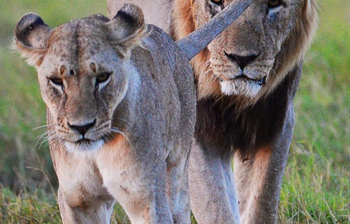 """""""South Africa does not allow canned lion hunting."""" - But is this true?"""