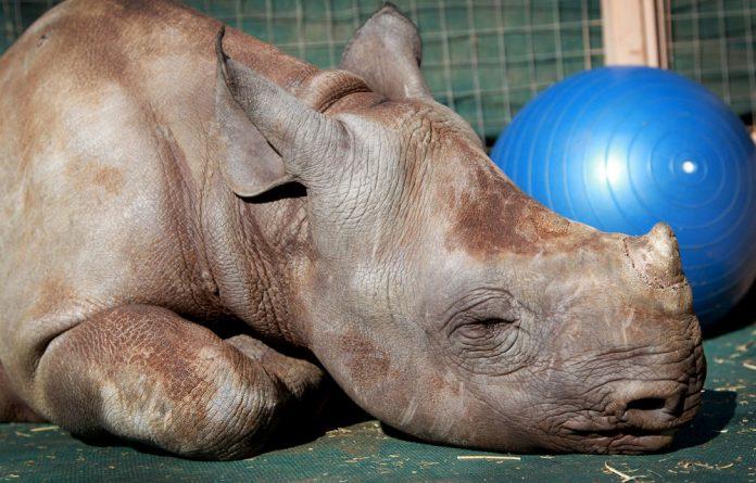 A rhino orphan.