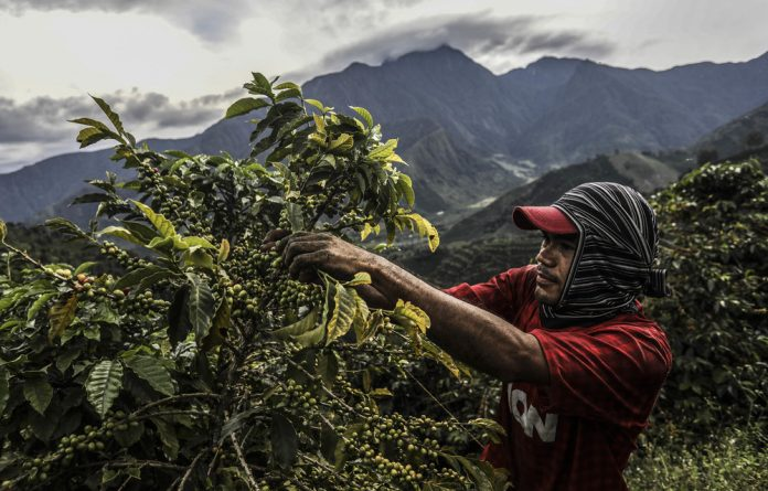 A picker collects coffee in the mountains near Ciudad Bolivar