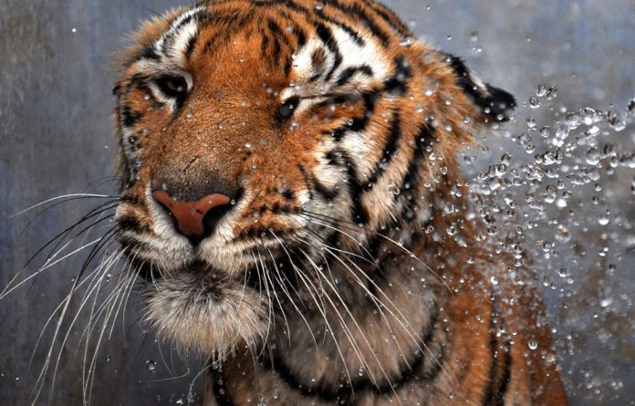 Thousands of tigers that once roamed forests in South and Southeast Asia have now plummeted to about 3 000 worldwide.