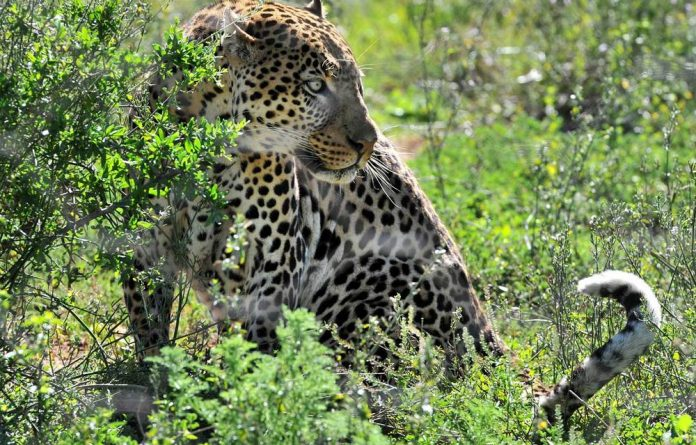 A wildlife expert employed by the Mpumalanga Tourism and Parks Agency is recovering after being savaged by a leopard.