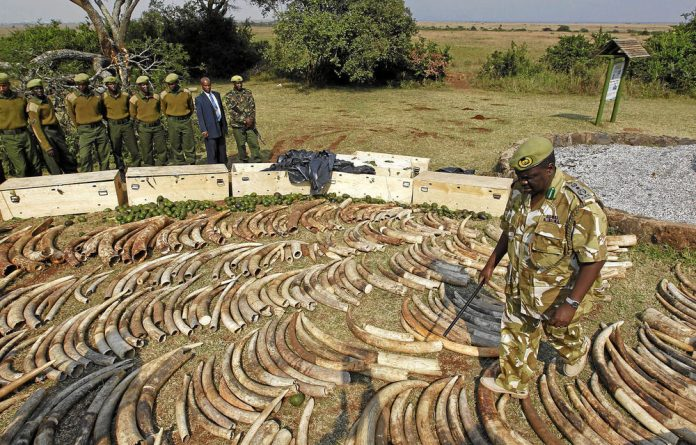 An official of the Kenya Wildlife Service inspects elephant tusks and rhino horns that were seized at the international airport in Nairobi in August 2010.