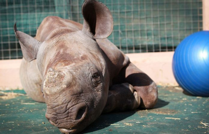 Rhinos are also on the list of 100 most endangered list.