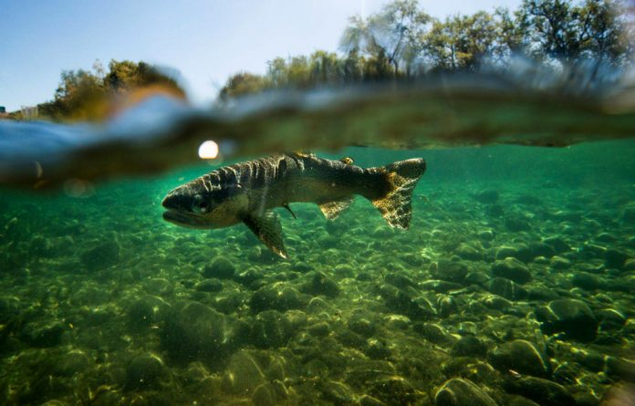 Trout are seen by the department of environmental affairs as an invasive species. But a reader says that there is no evidence of them causing the death of indigenous fish species