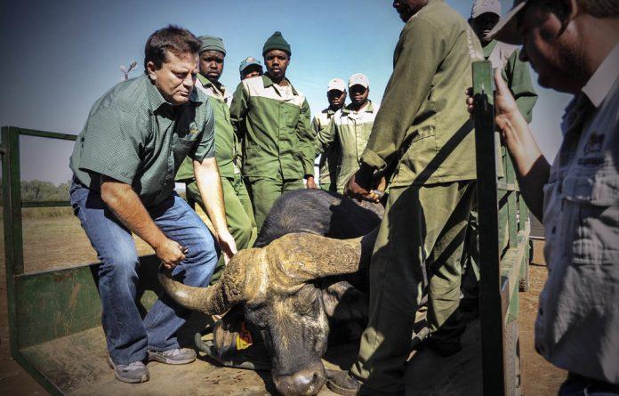 Weighty matter: A Tanzanian buffalo