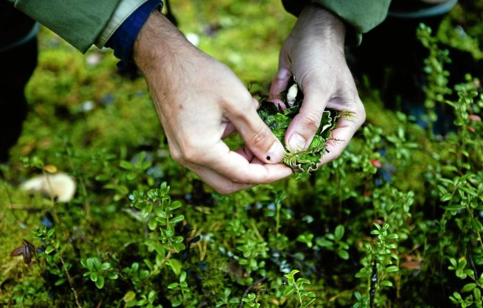 Forest herbs: Foraging for ingredients during the Cook it Raw event in Finland.