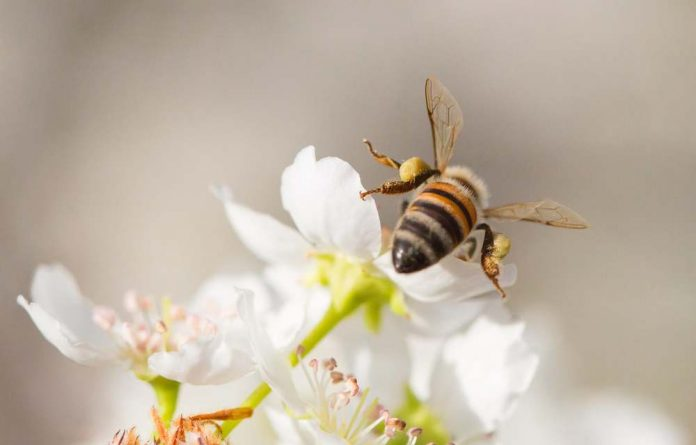 Honeybee harvesting pollen. WWF is piloting beekeeping and ecotourism initiatives in the Madagascan village of Kivalo.