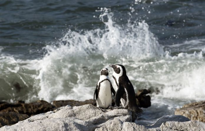 St Croix Island is home to the largest breeding colony of endangered African penguins in the world.