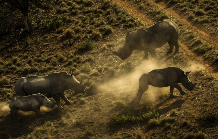 Horn horror: Each year about one thousand rhinos are killed in South Africa
