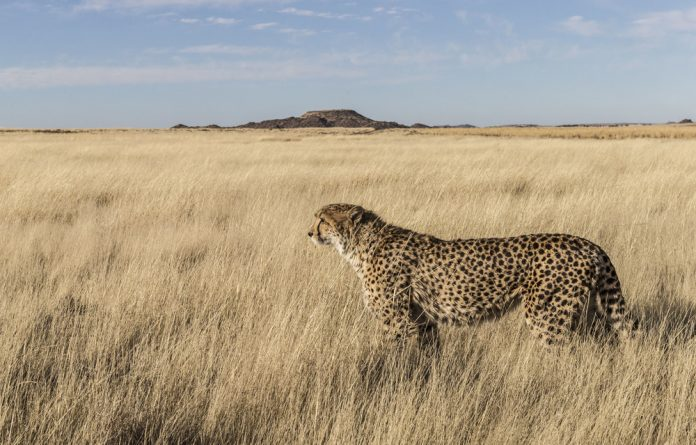 Fragile: About 12% of the 3000 animals in South Africa that were assessed in the report are at risk of extinction.The cheetah was the second-most threatened carnivore after the African wild dog.
